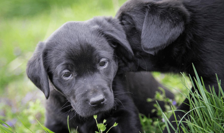 Labrador pups need a pet sitter